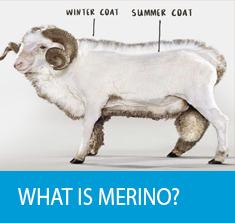 Icebreaker-Merino-Clothing-What-is-Merino-Wool