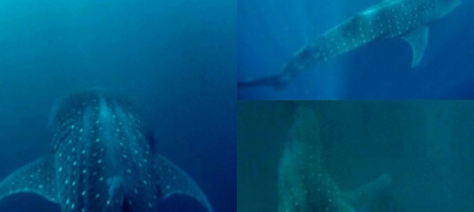 Southern Leyte and those beautiful whale sharks