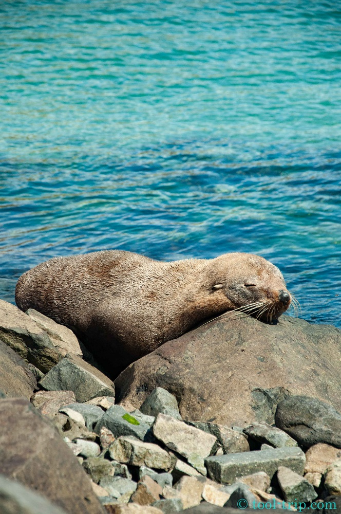 Fur seal asleep