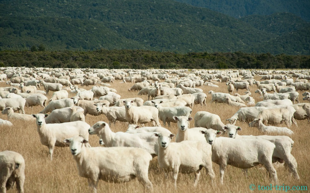 lake monowai moutons