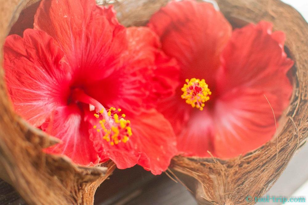 Hibiscus coco