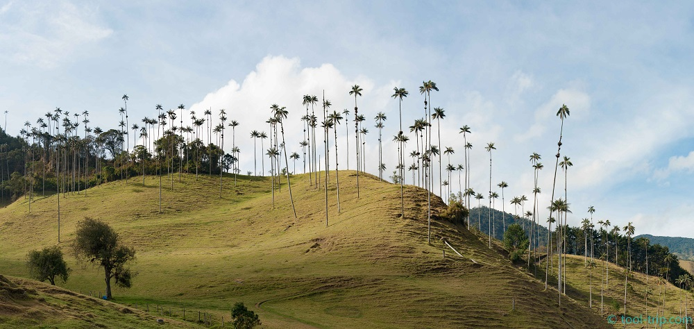 cocora valley wax trees